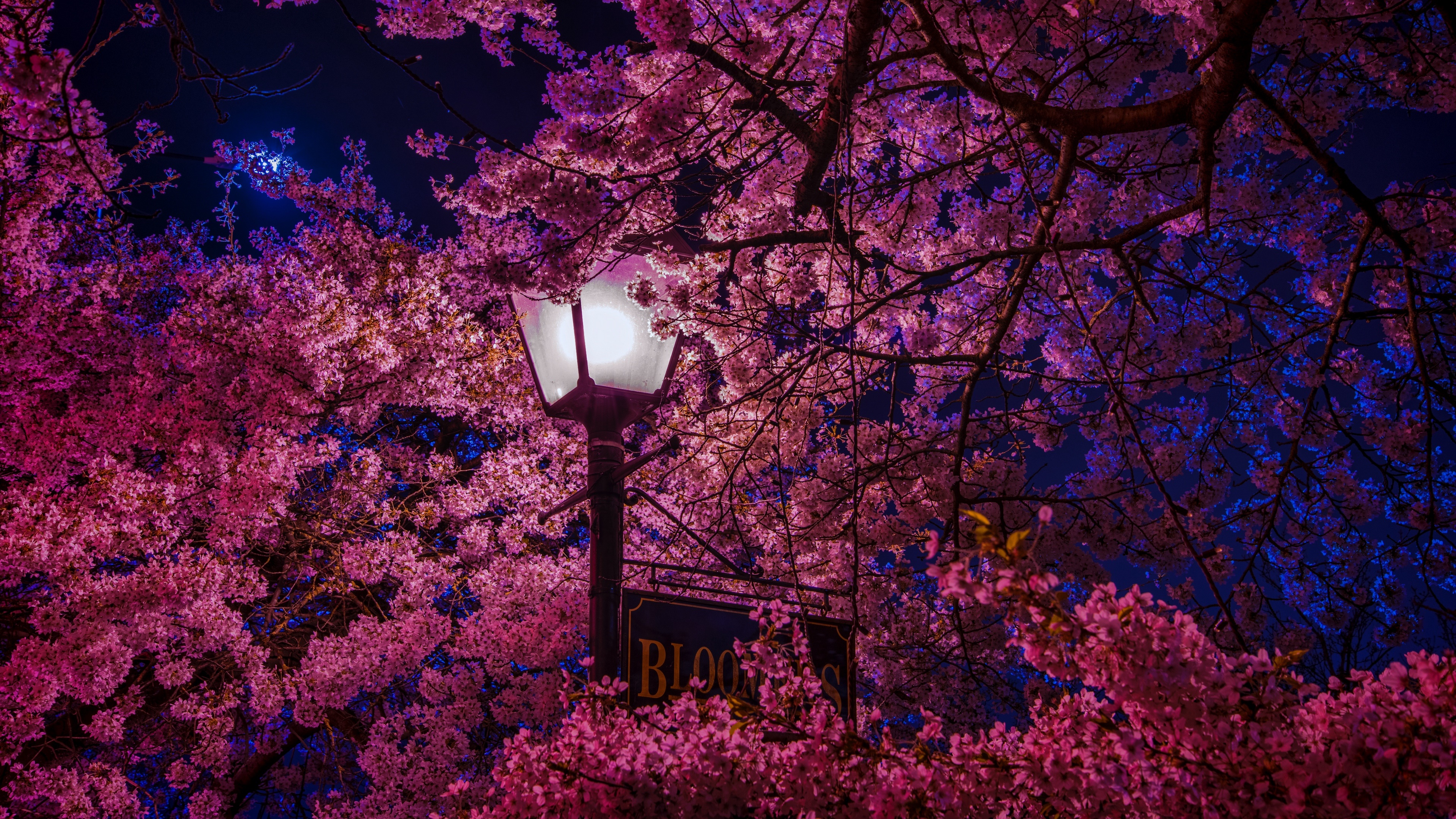 Sakura Tree At Night 4k Ultra Fondo De Pantalla Hd Fondo