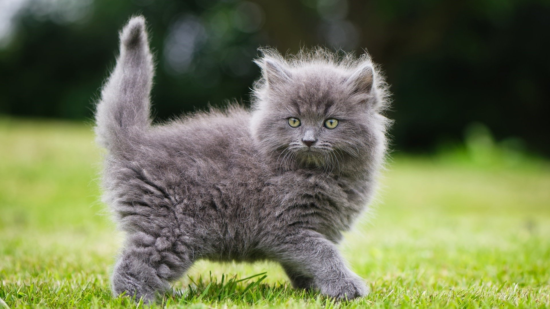 Gray Fluffy Kitten Hd Wallpaper Background Image 1920x1080 Id 1000999 Wallpaper Abyss