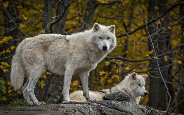 Animal Wolf White Wolf HD Wallpaper   Background Image