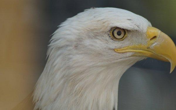 Animal Bald Eagle Birds Eagles Eagle HD Wallpaper   Background Image