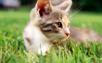 Animal - Cat Wallpapers and Backgrounds ID : 101570