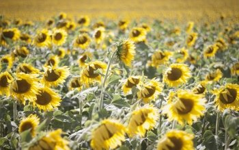 Earth - Sunflower Wallpapers and Backgrounds ID : 101700