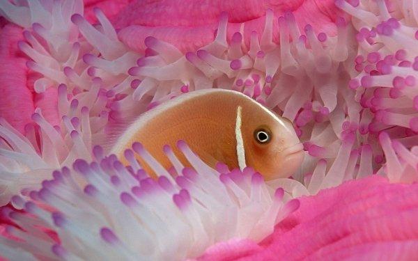 Animaux Poisson Poissons Anémone Pastel Fond d'écran HD | Image