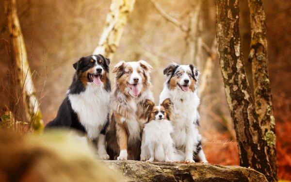 Animal Dog Dogs Australian Shepherd Papillon HD Wallpaper   Background Image