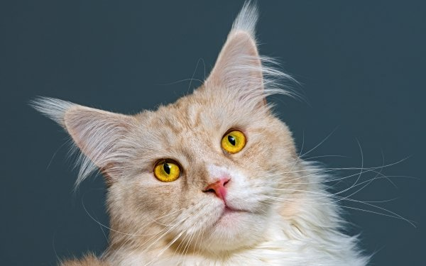 Animal Cat Cats Pet Maine Coon HD Wallpaper | Background Image