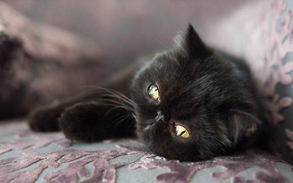 Animal Cat Cats Pet HD Wallpaper | Background Image