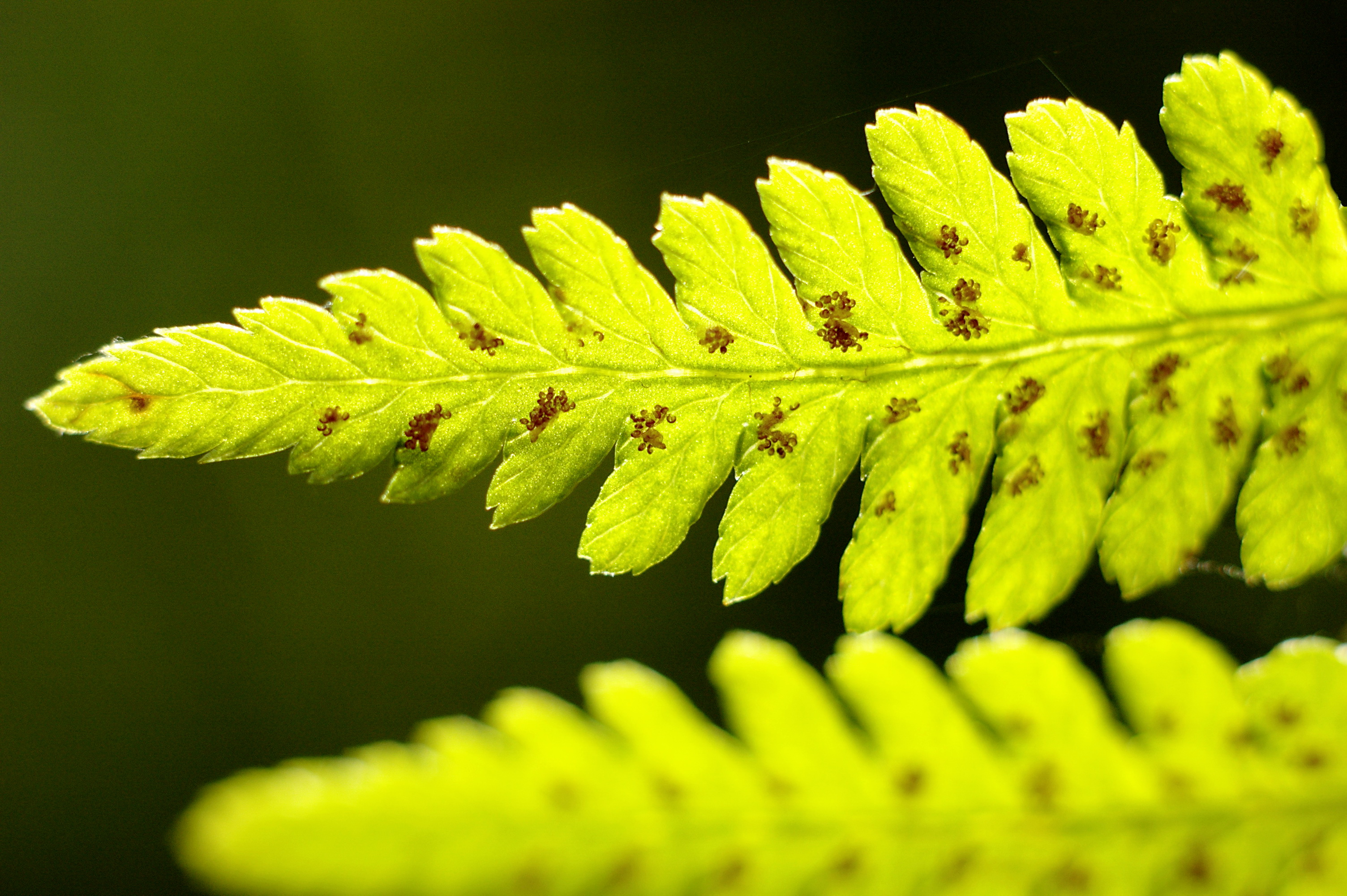 Earth - Fern  Wallpaper