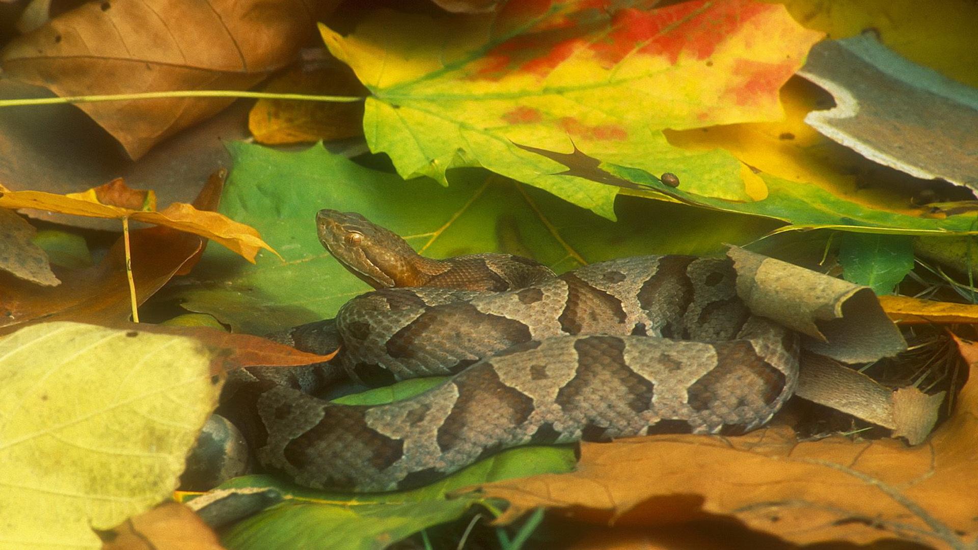 Animal - Snake  Leaf Reptile Animal Wallpaper