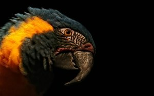 Preview Animal - Blue-and-yellow Macaw Art