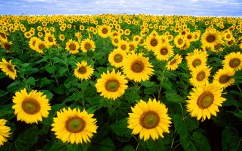 Earth - Sunflower Wallpapers and Backgrounds ID : 104150