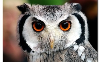 Animal - Owl Wallpapers and Backgrounds ID : 104992