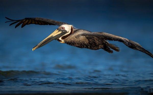 Animal Pelican Birds Pelicans Wildlife Bird HD Wallpaper | Background Image