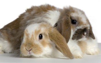 Animal - Rabbit Wallpapers and Backgrounds ID : 105760