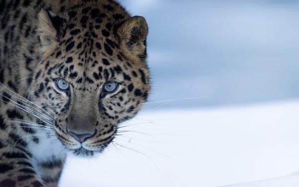 Animal Leopard Cats Amur Leopard Big Cat Wildlife predator HD Wallpaper | Background Image
