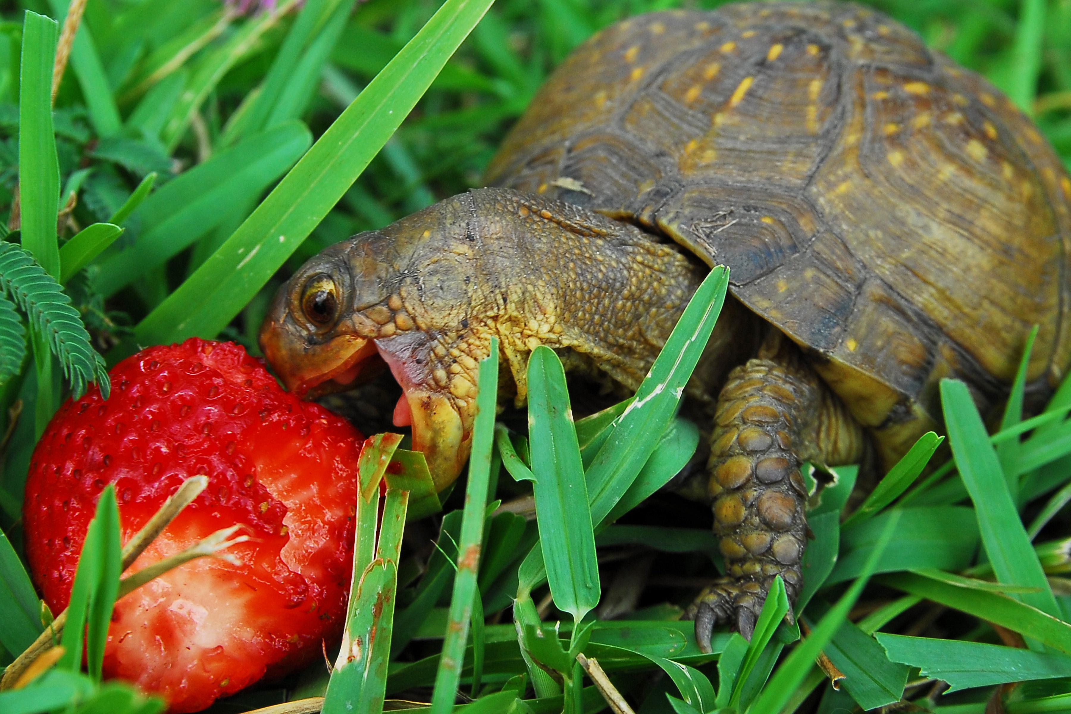 Schildkröte Italienisch
