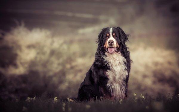 Animal Bernese Mountain Dog Dogs Dog Pet Depth Of Field HD Wallpaper | Background Image