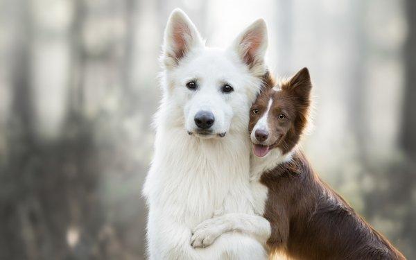 Animal Dog Dogs Border Collie Swiss Shepherd Pet Depth Of Field HD Wallpaper   Background Image