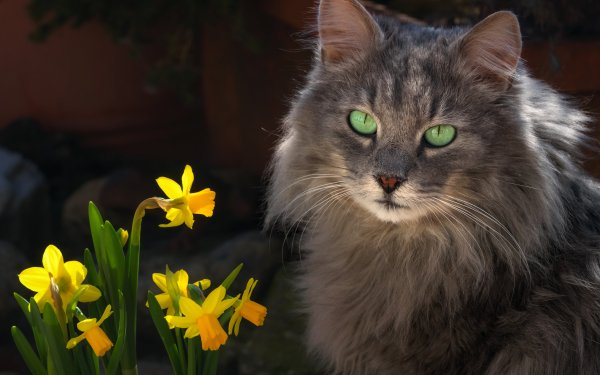 Animal Cat Cats Daffodil Pet HD Wallpaper | Background Image