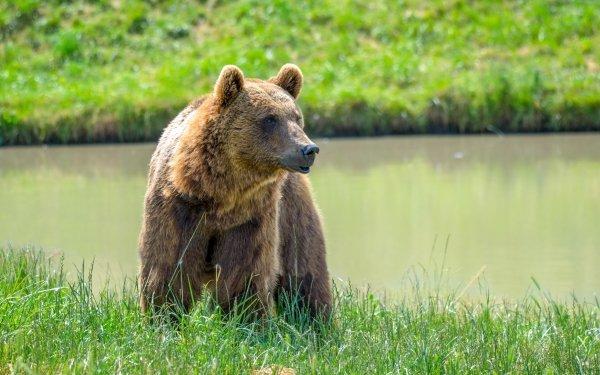 Animal Bear Bears Wildlife predator HD Wallpaper | Background Image