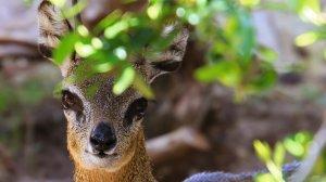 Preview Animal - Antelope Art