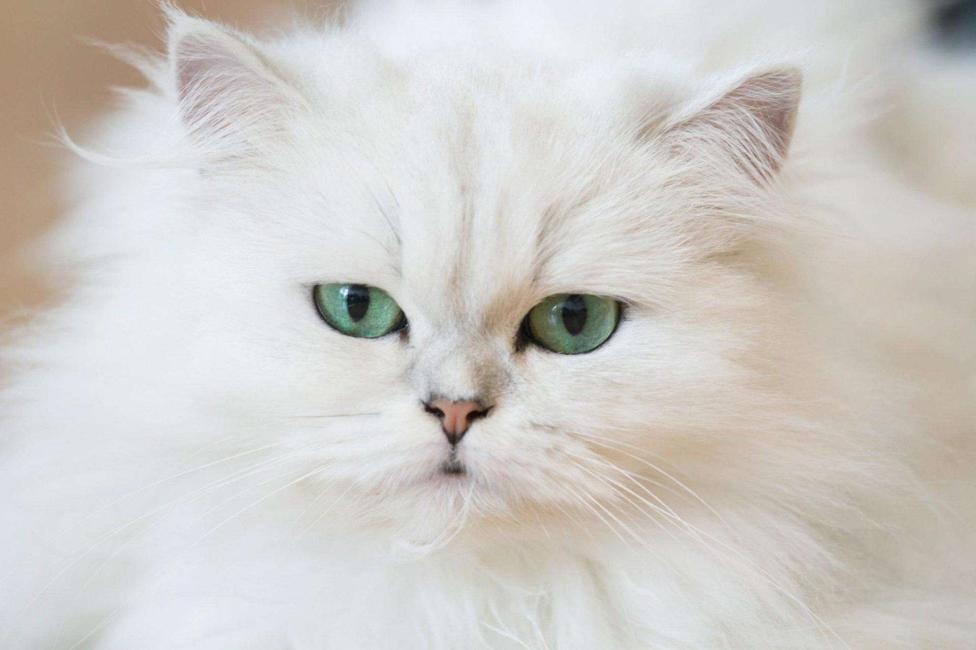 Persia Katze