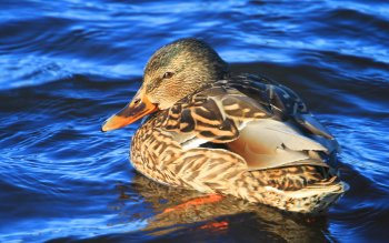 Animal - Duck Wallpapers and Backgrounds ID : 108370