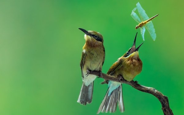 Animal Bee-eater Birds Bee-Eaters Bird Branch Dragonfly HD Wallpaper | Background Image