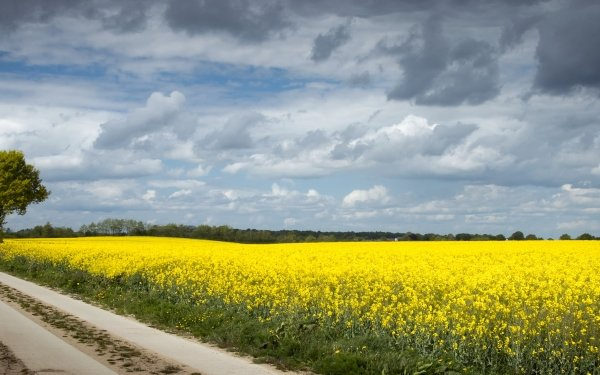 Man Made Road Rapeseed HD Wallpaper   Background Image