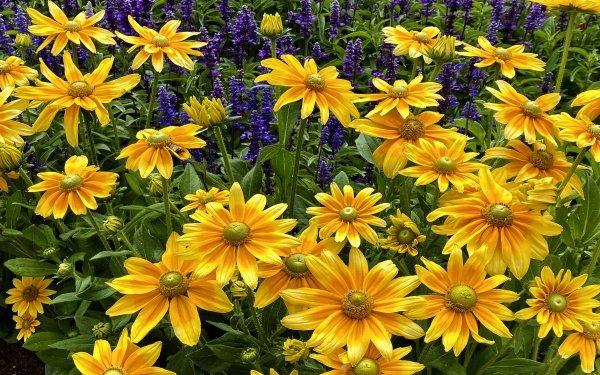 Earth Black-Eyed Susan Flowers Flower Rudbeckia HD Wallpaper   Background Image