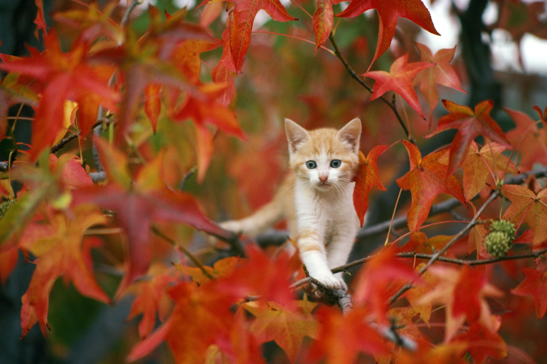 Animaux - Chat  Automne Feuille Kitten Baby Animal Fond d'écran
