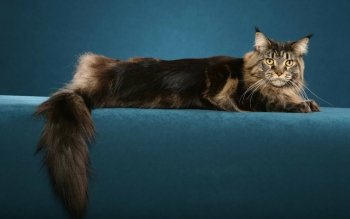 Animalia - Gato Wallpapers and Backgrounds ID : 110422