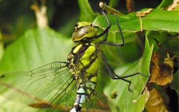 Animal - Dragonfly Wallpapers and Backgrounds ID : 110542