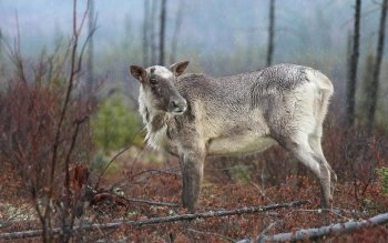 6 Caribou Hd Wallpapers Background Images Wallpaper Abyss
