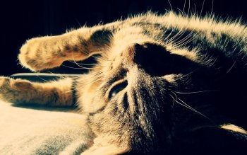 Animal - Cat Wallpapers and Backgrounds ID : 111240