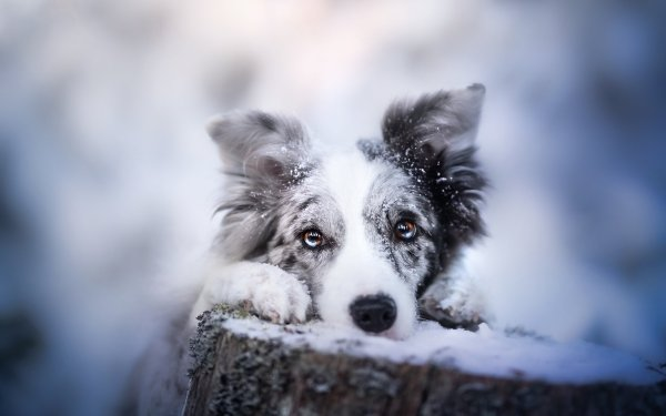 Animal Dog Dogs Pet Border Collie HD Wallpaper   Background Image