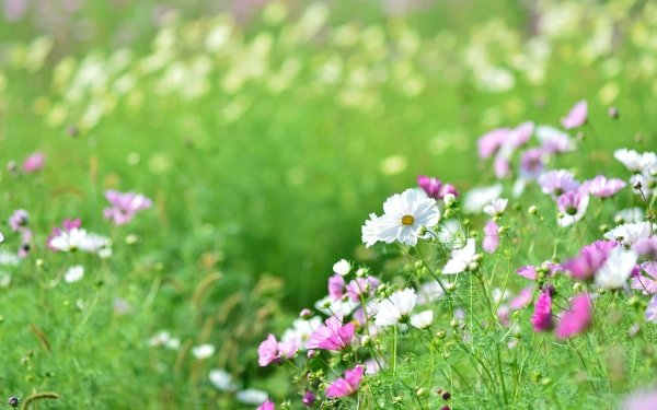 Earth Cosmos Flowers Flower Meadow Pink Flower White Flower HD Wallpaper   Background Image