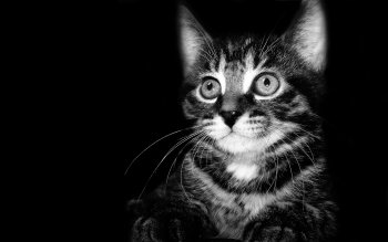 Animal - Cat Wallpapers and Backgrounds ID : 113650