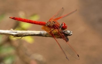 Animal - Dragonfly Wallpapers and Backgrounds ID : 114520