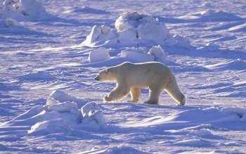 Animal - Polar Bear Wallpapers and Backgrounds ID : 116472