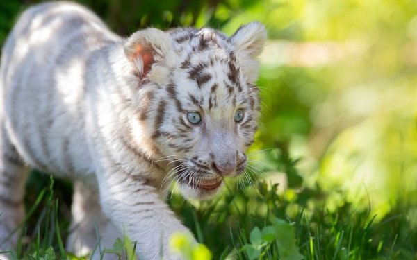 Animal White Tiger Cats HD Wallpaper | Background Image