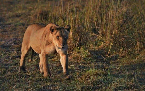 Animal Lion Cats Lioness predator Big Cat Walking HD Wallpaper   Background Image