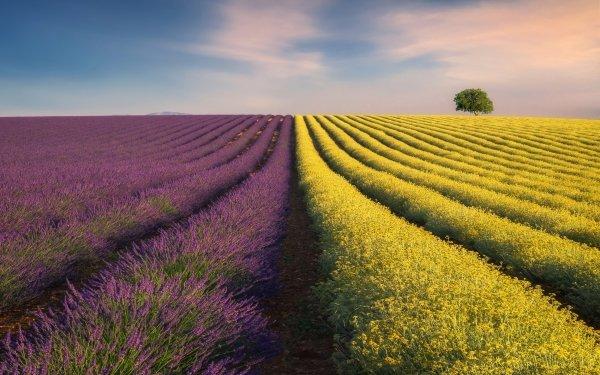 Earth Field Lavender Rapeseed Flower HD Wallpaper   Background Image