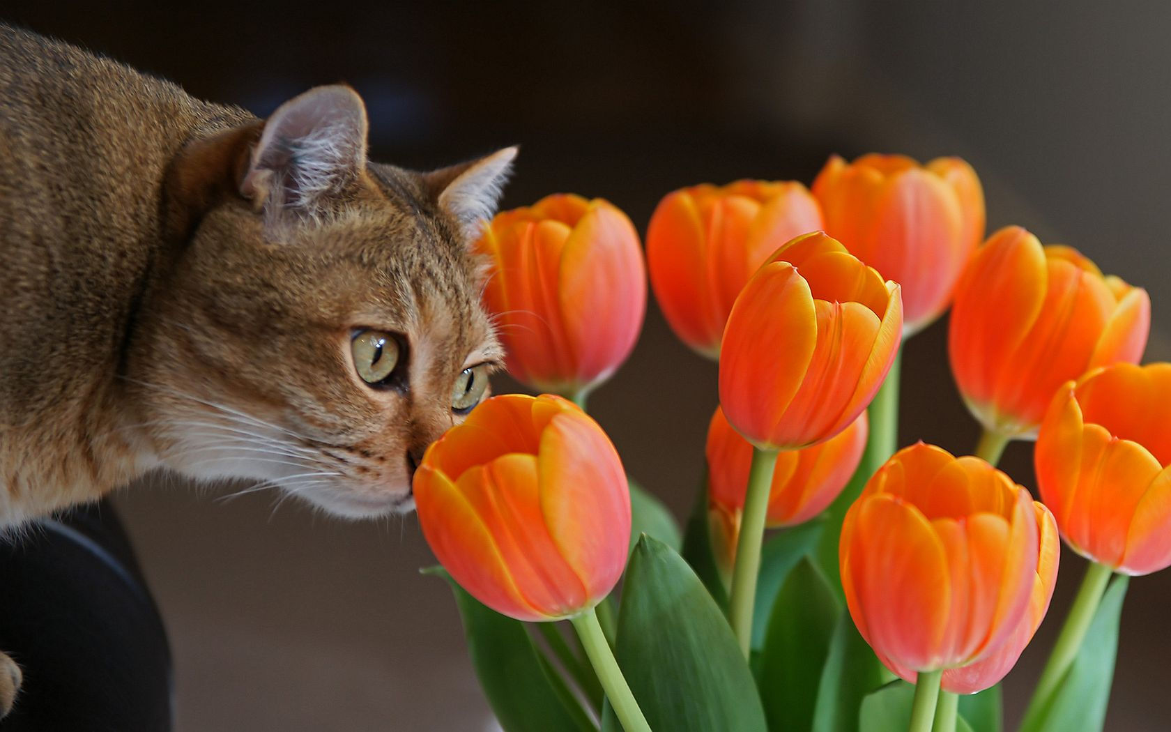 Animalia - Gatto  - Tulips Sfondi