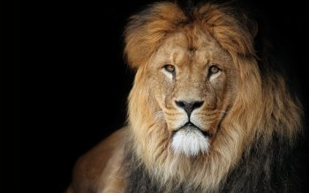 Animal - Lion Wallpapers and Backgrounds ID : 117042