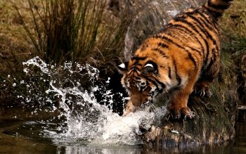 Animal - Tiger Wallpapers and Backgrounds ID : 117350