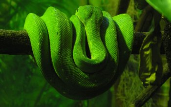 Animal - Snake Wallpapers and Backgrounds ID : 117632