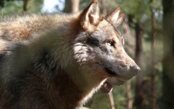 Dierenrijk - Wolf Wallpapers and Backgrounds ID : 117980