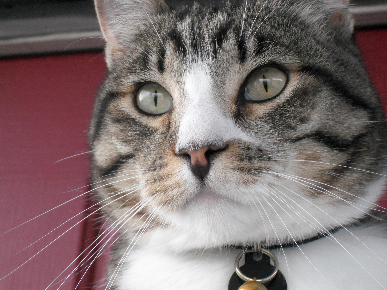 Animal - Cat  Grey Tabby Animal Wallpaper