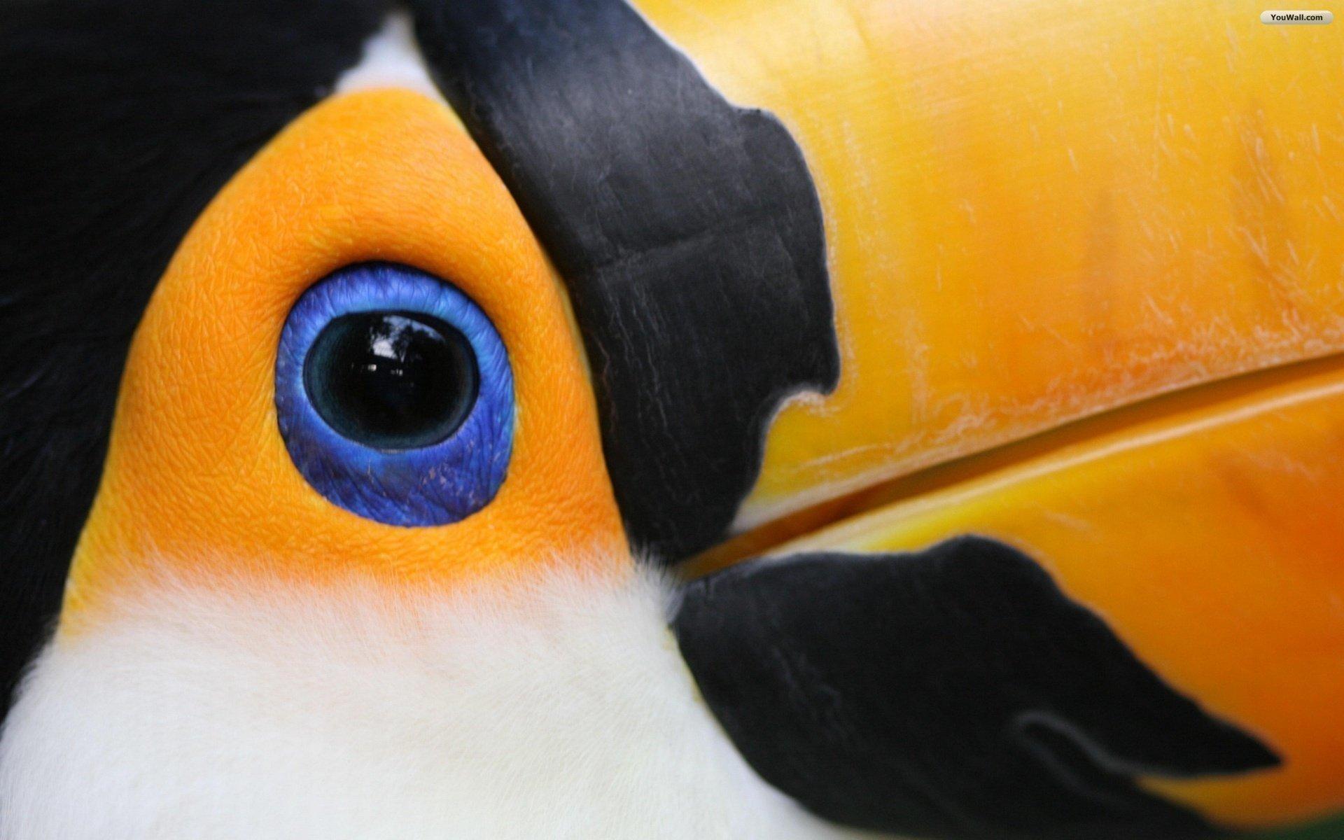 Animaux - Toco toucan  Fond d'écran