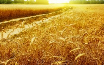 Earth - Wheat Wallpapers and Backgrounds ID : 118012